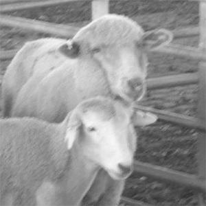 Smarteye & Wooly